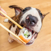 Bullterrier dog eating sushi roll from chopstick, Shallow of DOF — Stock Photo