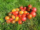 разнообразие помидор — Стоковое фото