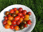 Genetic diversity in tomatoes — Stock Photo