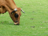 Cow with horns grazing — Stock Photo