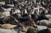 Round up of wild horses in Germany — Stock Photo