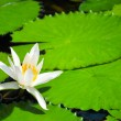 Stock Photo: White Water Lilly