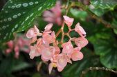 Cespuglio di rosa fiore — Foto Stock