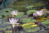 Fall Water Lillies — Stock Photo