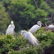Snowy Egrets - The Nesting Game — Stock Photo