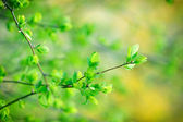 Fresh spring leaves — Stock Photo
