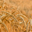 Stock Photo: Appearance of wheat field in late afternoon