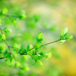 Beautiful nature - budding leaves — Stock Photo #24289069