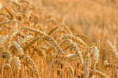 The appearance of wheat field in the late afternoon — Stock Photo