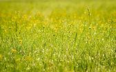 Pequeña flor amarilla que florece en primavera — Foto de Stock