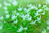 Kleine witte bloem bloeien in het voorjaar van — Stockfoto