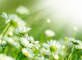 Beautiful daisy in a meadow — Stock Photo