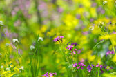 Blooming wild flowers in the forest — Stock Photo