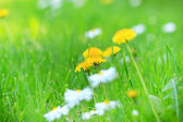 Dandelion and Daisy in the meadow — Stock Photo