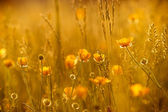 Rays of the setting sun on yellow flowers — Stock Photo