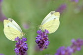 Two white butterflies on lavender — Stock Photo