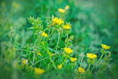 Yellow flowers in spring - in flowering — Stock Photo