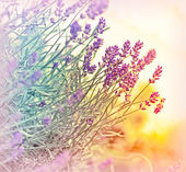 Soft focus on beautiful lavender — Stock Photo