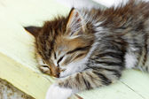 Little kitten sleeping - Maine Coon — Stock Photo