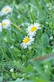 Spring daisy - Daisy in spring — Stock Photo