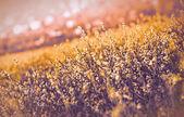 Rapeseed - yellow flower — Stock Photo