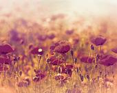 Wild poppy flower in the meadow — Stock Photo