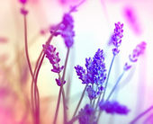 Soft focus on lavender — Stock Photo