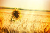 Rays of the setting sun over wheat field and one sunflower — Stock Photo