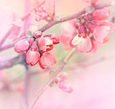 Flowering in spring - Budding bud - Flowering fruit tree — Stock Photo