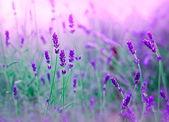 Soft focus on lavender — Stock Photo