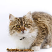Cat - (Maine Coon) eats — Stock Photo