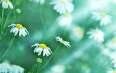 Daisy (sprig daisy) illuminated by sunlight — Stock Photo
