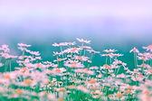 Daisy (spring daisy) — Stock Photo