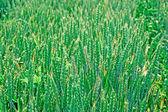Beautiful young crop field — Stock Photo