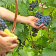 Picking grapes — Stock Photo #41227847