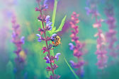 Bee - honeybee on purple flower — Stock Photo