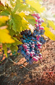 Red grapes - purple grapes — Stock Photo