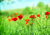 Wild poppy flower in a meadow — Stock Photo
