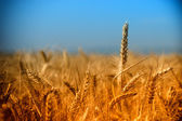 Rays of the setting sun on wheat field — Stock Photo