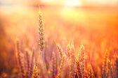 Rays of the setting sun on wheat field — Stock Photo
