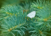 White butterfly on pine tree (coniferous tree) — Stock Photo
