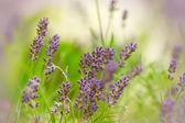 Beautiful lavender — Stock Photo