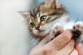 Nice kitty Maine Coon — Stock Photo