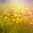 Stock Photo: Yellow flowers in spring - meadow