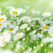 Stock Photo: Daisy (spring daisy) in grass, in meadow