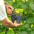 Picking grapes - harvest time — Stock Photo #41506635