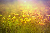 Yellow flowers in spring - meadow — Stock Photo