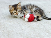 Little kitten of Maine Coon — Stock Photo