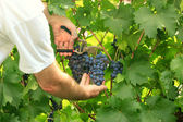 Picking grapes - harvest time — Stock Photo
