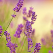 Stock Photo: Lavender in my garden